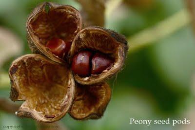 Peony seed pods-cr